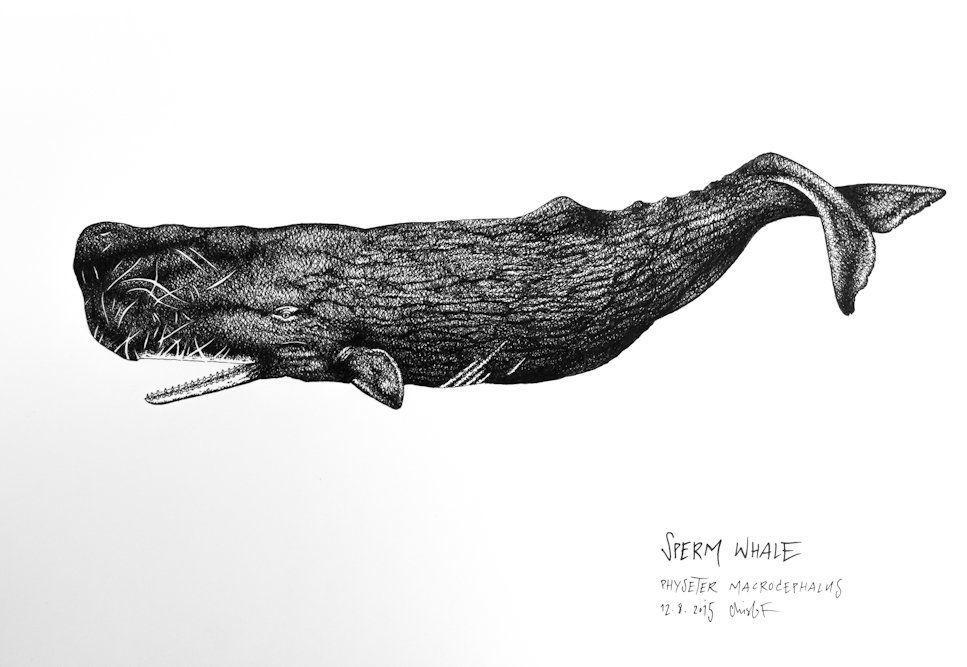 best of Sperm whale Draw