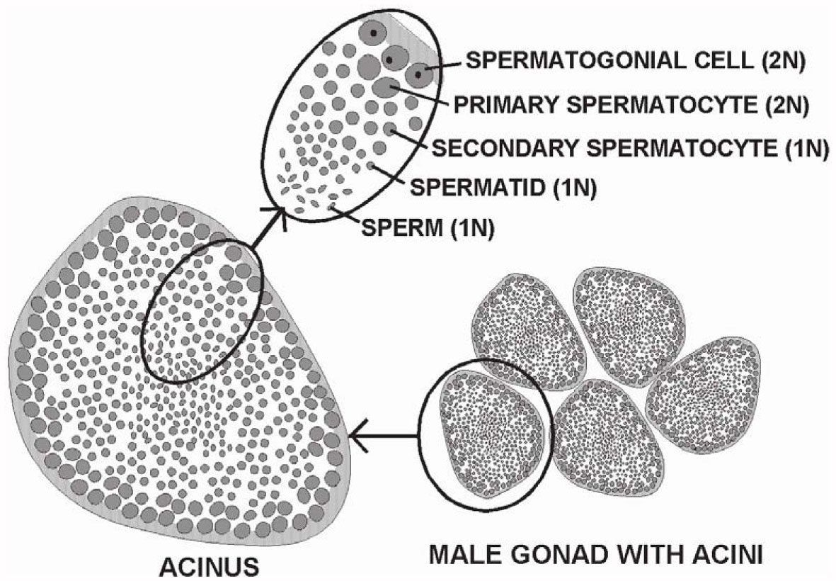 How a spermatid differs from a sperm cell