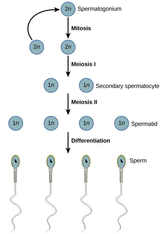 best of A spermatid cell sperm differs a How from